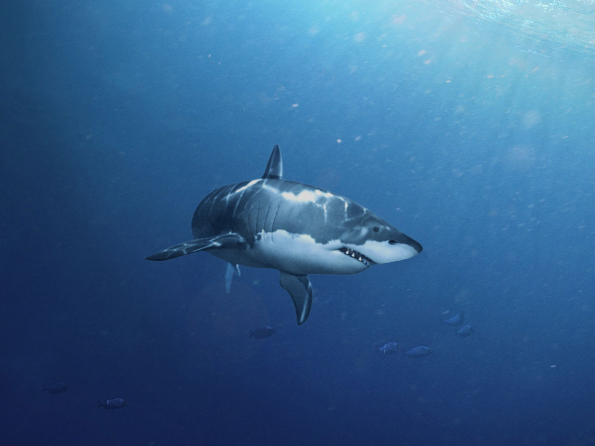 Amateur white shark 1 404abfab i8cm